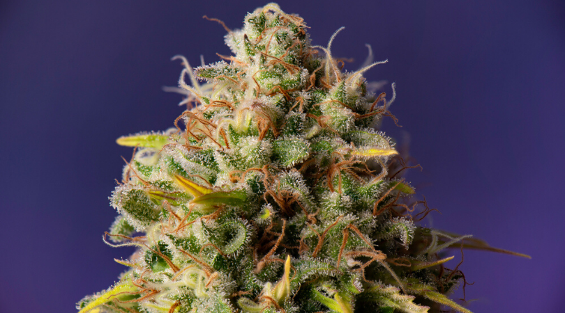 The 8 Best Marijuana Strains for Depression