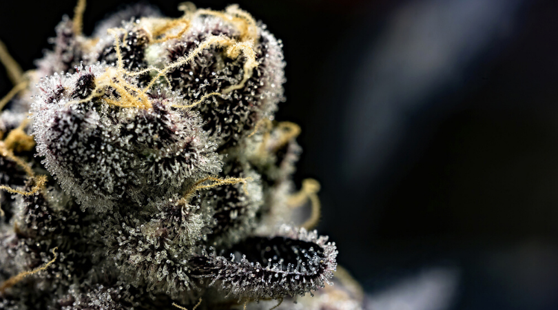 Trichomes: The Complete Guide